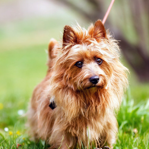 Terrier (Australian)