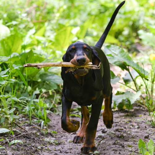 Coonhound (Black and Tan)