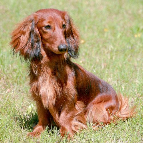 Dachshund (Miniature Long-haired)