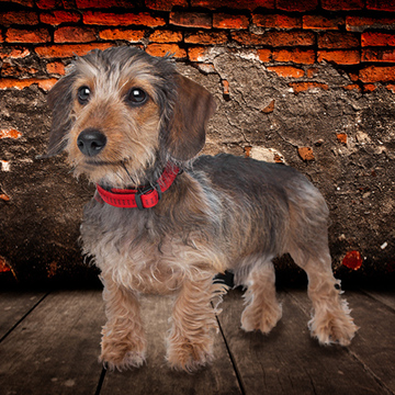 Dachshund (Standard Wire-haired)