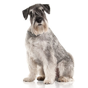 Grooming Wire-Haired Coat Dogs