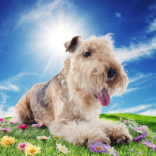 Terrier (Lakeland)