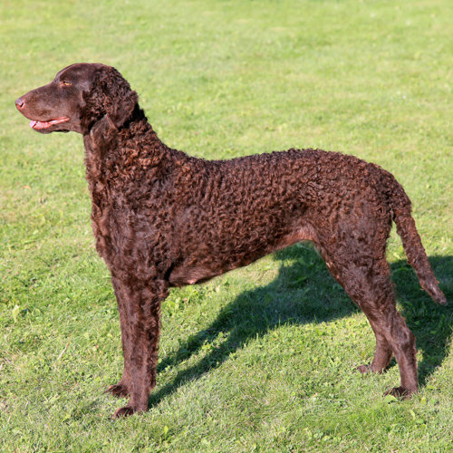 Retriever (Curly-coated)