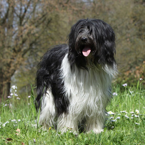 Schapendoes (Dutch Sheepdog)