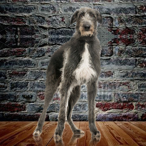 Deerhound (Scottish)