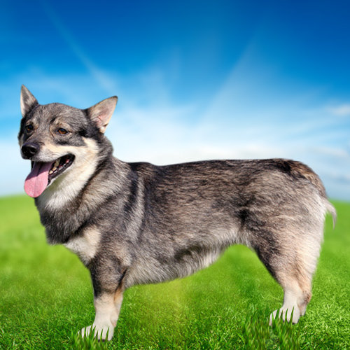 Swedish Vallhund