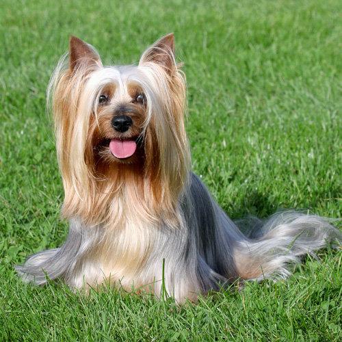 Terrier (Australian Silky)