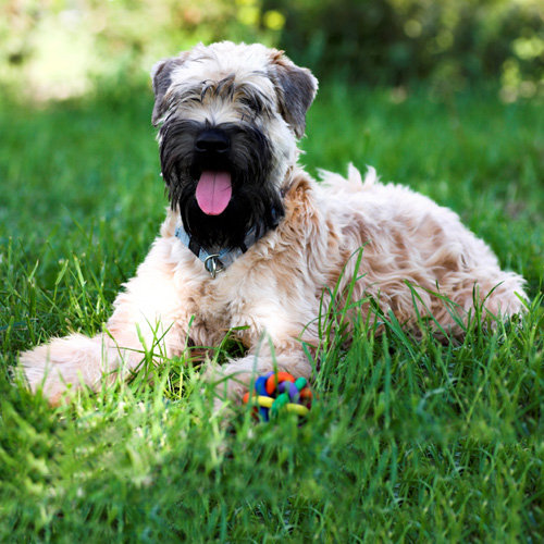 Terrier (Soft-coated Wheaten)