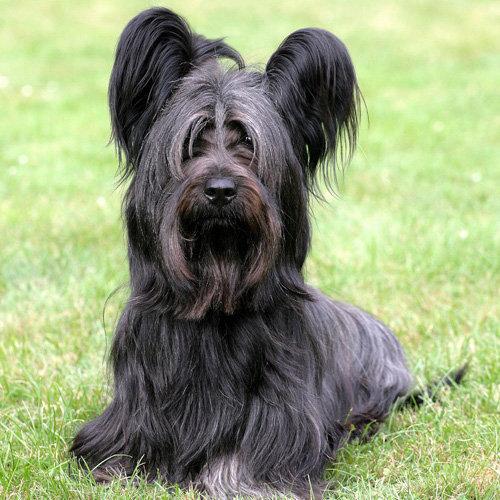 Terrier (Skye)