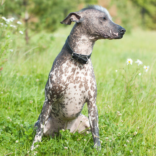 Xoloitzcuintli Mexican Hairless Dog